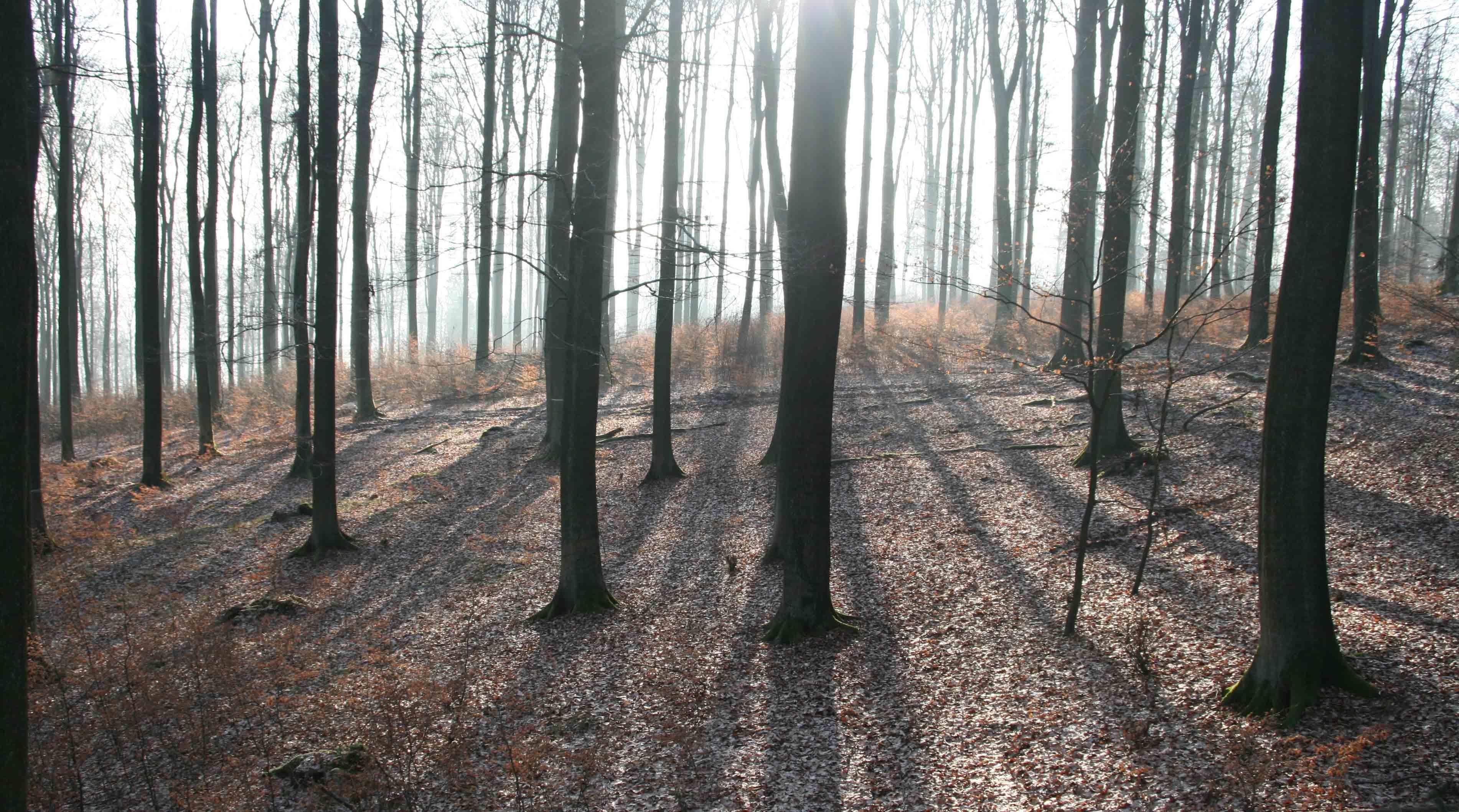 Buchenwald im Gegenlicht